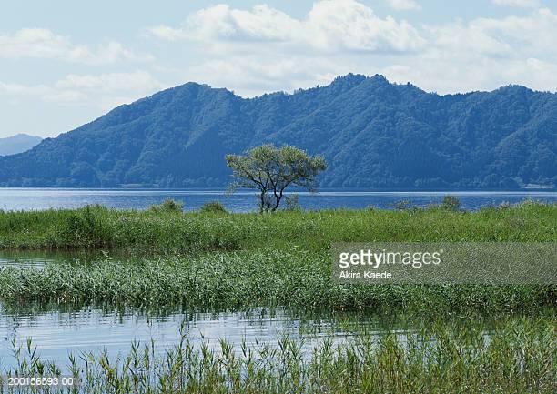 Japan, Akita Prefecture, Tazawako, Lake Tazawa, reeds growing in lake