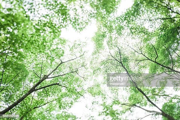 Japan, Arashiyama, Japanese maple leaves