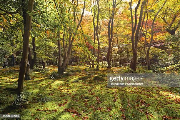 Japan Autumn tree