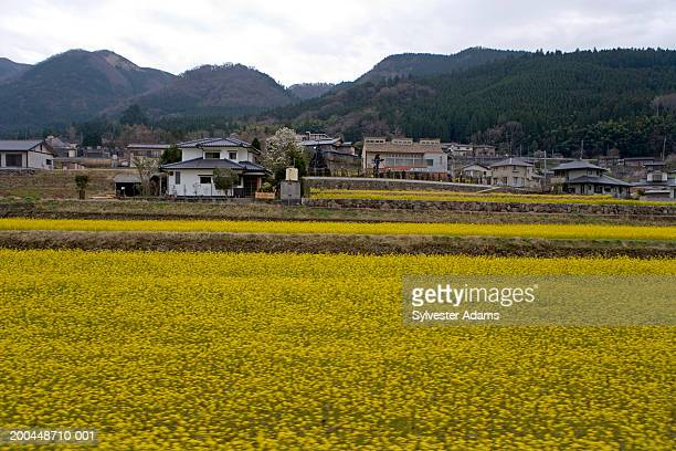 Japan, Beppu, houses and field with yellow flowers