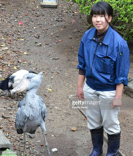 ITO Japan Breeding staff Mai Hirokawa stands next to a shoebill known by the name Bill during feeding time on April 10 2013 at Izu Shaboten Park in...