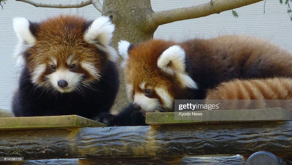 Grandchildren of famous lesser panda : News Photo