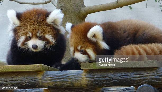 CHIBA Japan Chiba Zoological Park in the city of Chiba begins displaying male and female lesser panda twin cubs on Oct 1 2012 They are grandchildren...