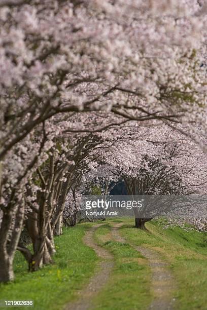 Japan, hiroshima prefecture, cherry blossom trees