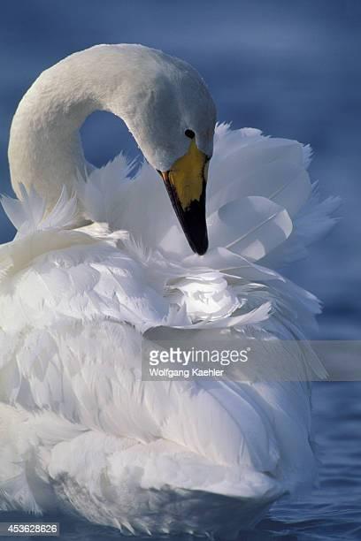 Japan Hokkaido Is Near Kushiro Lake Kussharo Whooper Swan Preening