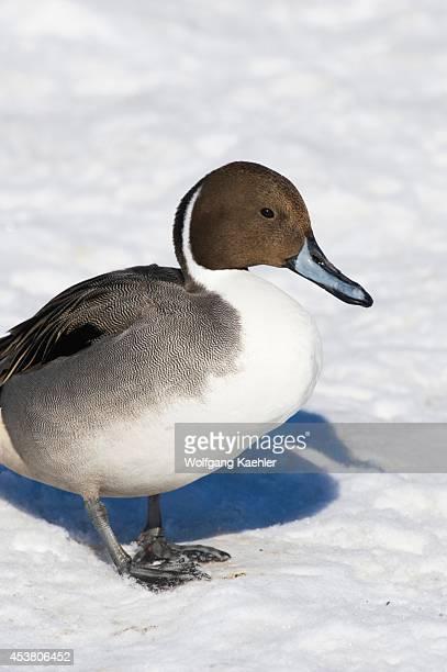 Japan Hokkaido Island Near Abashiri Northern Pintale Anas acuta0 Male On Snow