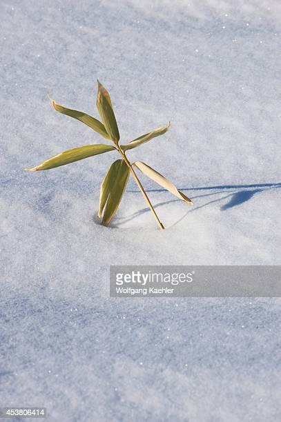Japan Hokkaido Island Near Abashiri Winter Landscape Bamboo In Snow Shadows