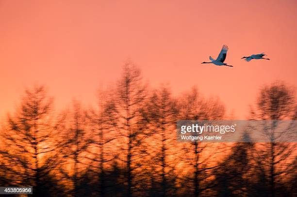 Japan Hokkaido Island Near Tsurui Village Akan Japanese Crane Endangered Species In Flight At Sunset