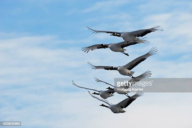 Japan Hokkaido Island Near Tsurui Village Japanese Crane Endangered Species In Flight