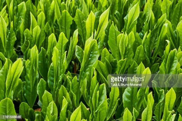 japan, honshu island, kansai region, uji, tea field - hoja te verde fotografías e imágenes de stock