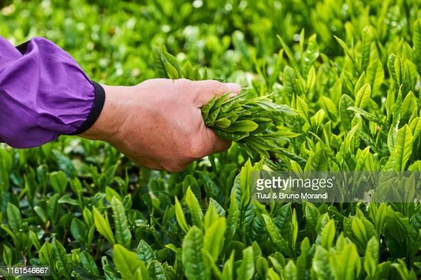 japan, honshu, shizuoka, tea fields - hoja te verde fotografías e imágenes de stock