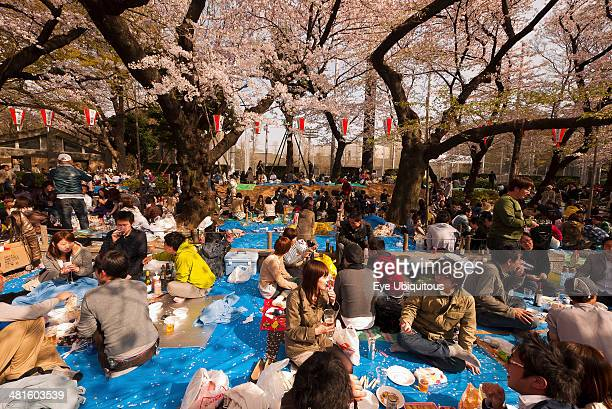 Japan Honshu Tokyo Ueno Park Hanami cherry blossom viewing parties under cherry trees in full blossom families and groups of young people having...