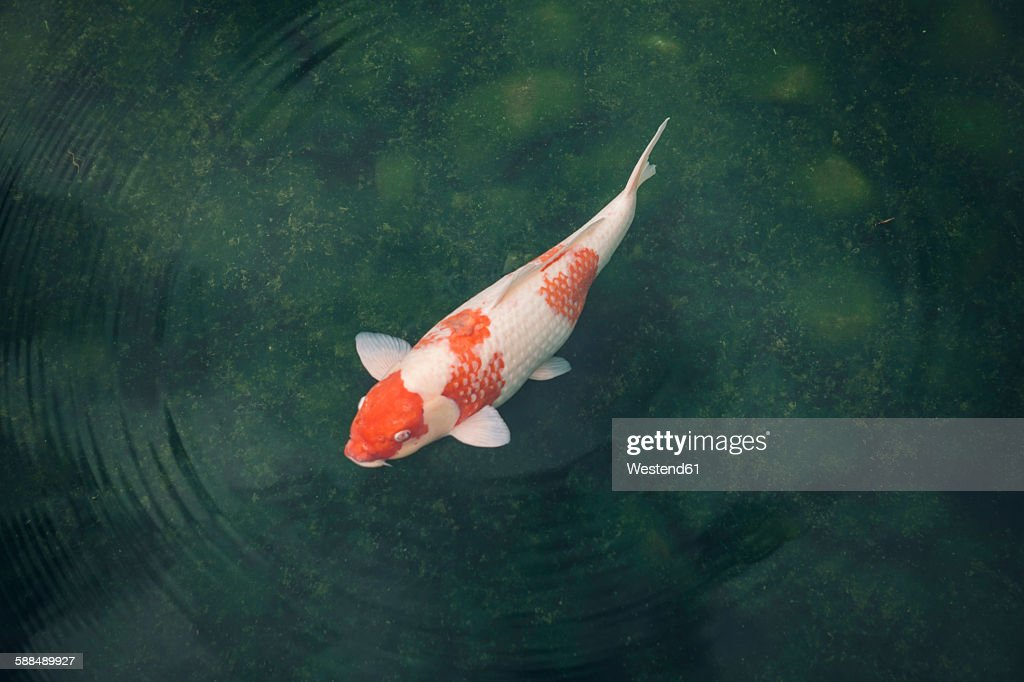 Japan, Koi carp in a pond : Stock Photo