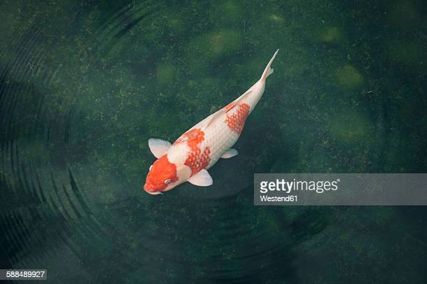 Japan, Koi carp in a pond