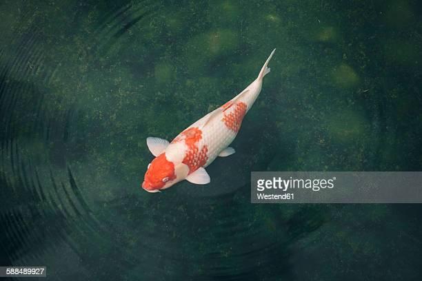 japan, koi carp in a pond - koi carp - fotografias e filmes do acervo
