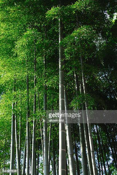 bamboo grove near the Temple of the Silver Pavilion