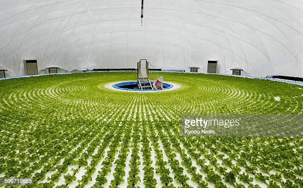RIKUZENTAKATA Japan Lettuce is grown in hydroponic culture in a dome of about 30 meters in diameter in Rikuzentakata Iwate Prefecture on July 11 2012...