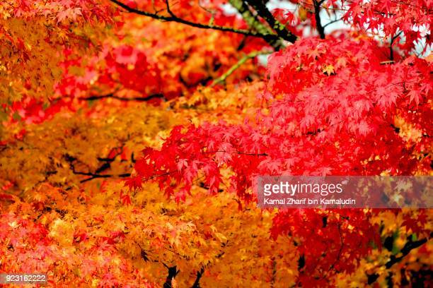 japan maple leaves - japanese maple stock pictures, royalty-free photos & images