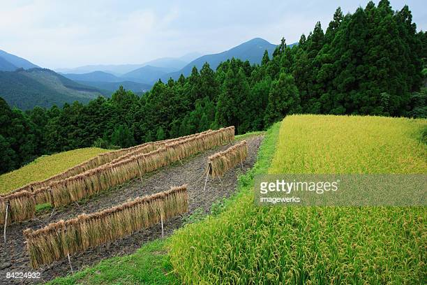Japan, Mie Prefecture, Kumano Kodo, Harvesting rice hanging in paddy field, high angle view