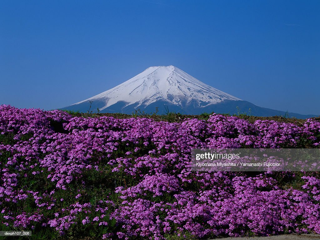 Japan Mt Fuji Field Of Pink Flowers In Foreground Stock Photo
