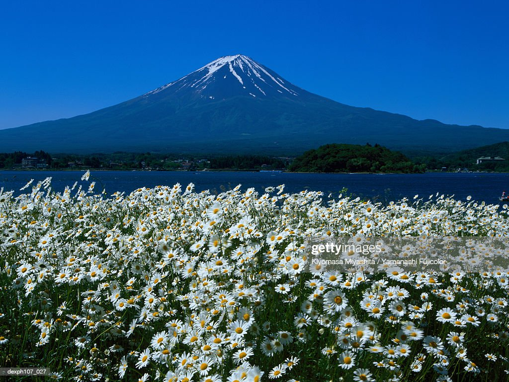 Japan Mt Fuji Field Of White Flowers In Foreground Stock Photo