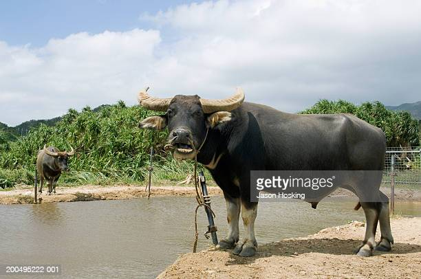 Japan, Okinawa, Iriomote Island, male water buffalo by water hole