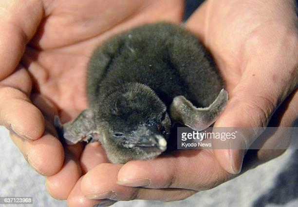 TOKYO Japan Photo shows a Magellanic penguin chick at an aquarium at Tokyo Skytree Town in Tokyo's Sumida Ward on May 6 2014 The baby was born on...
