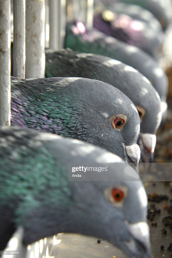 pigeon racing. Competing birds are taken from their lofts and then are released to race home. Pigeons before the race.