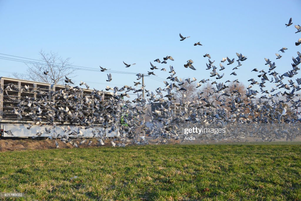 pigeon racing. Competing birds are taken from their lofts and then are released to race home.