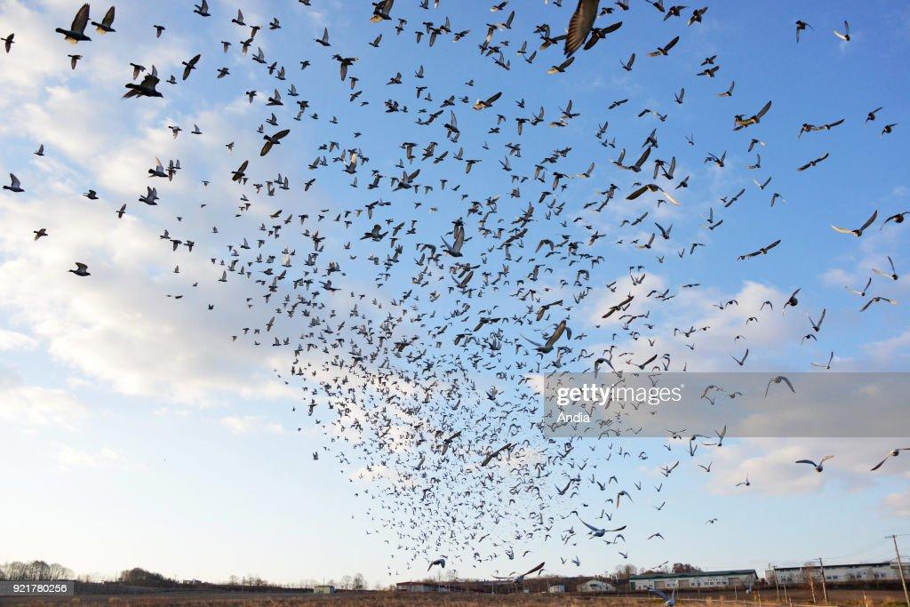 Pigeon racing. : News Photo