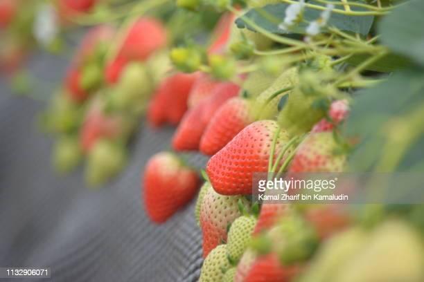 japan premium strawberry - 栃木県 ストックフォトと画像