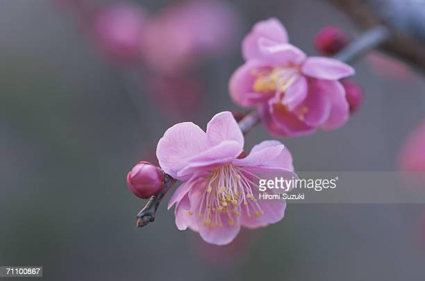 Japan, Saitama Prefecture, Kawaguchi, Japanese Plum, close-up