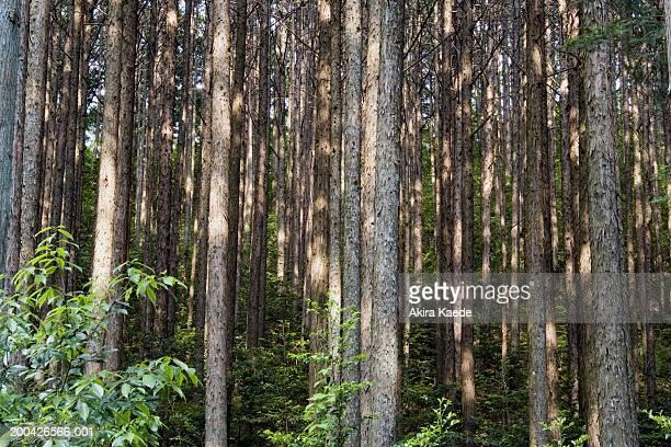 Japan, Shizuoka Prefecture, Honkawane, Cryptomeria japonica forest
