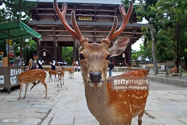Japan: Sikahirsch in den Nara-Park