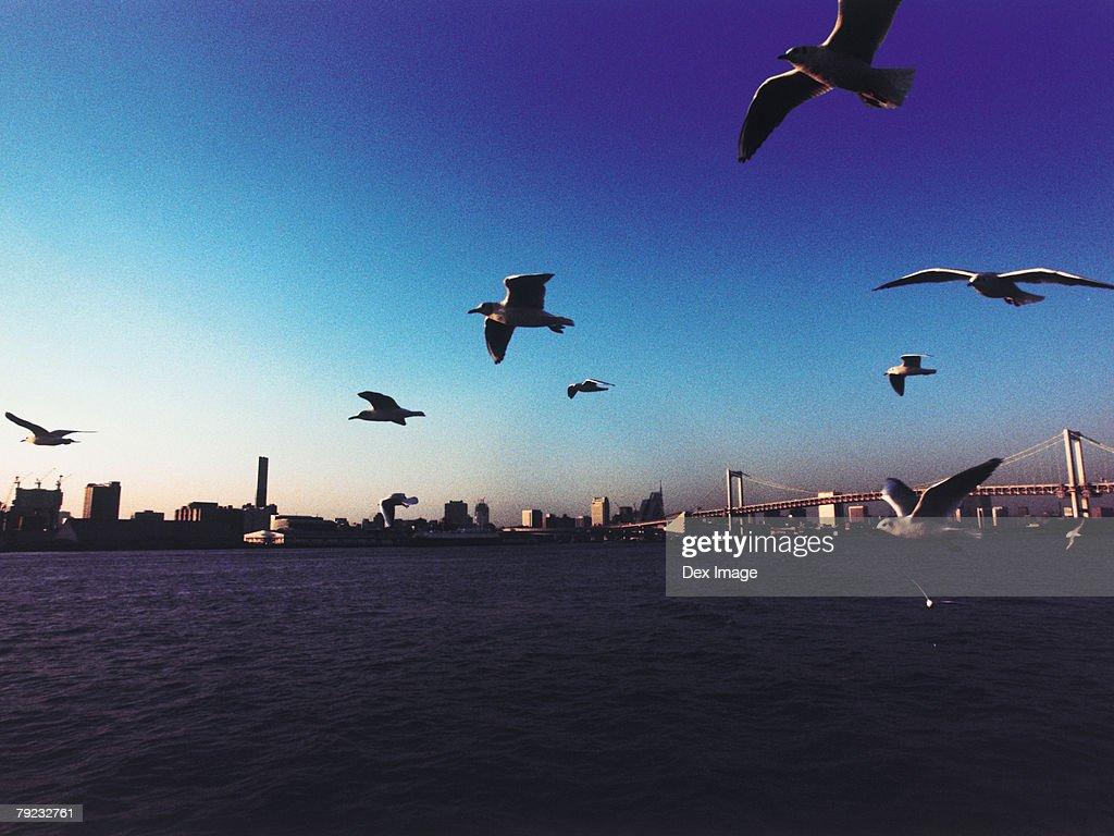 Japan, Tokyo Bay, Rainbow Bridge, Seagulls flying : Stock Photo