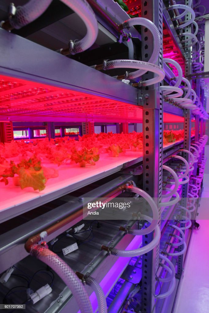 Plant Factory uses LED technology to customize the cultivation of vegetables, Tamagawa University Research Institute. Lettuce growing under LED lights (light-emitting diodes), on .