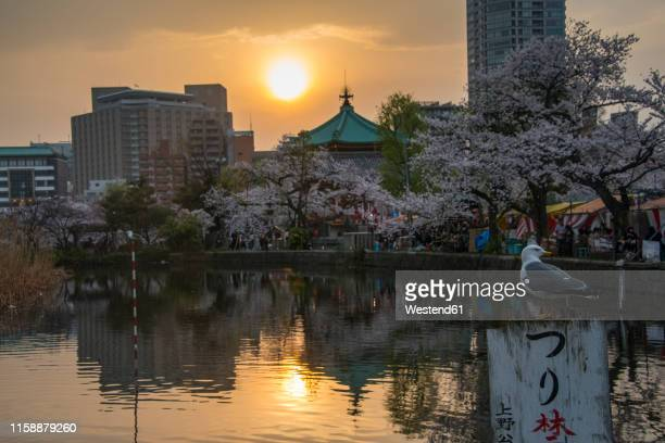 japan, tokyo, ueno, ueno park, sunset at cherry blossoming season - ueno park stock photos and pictures