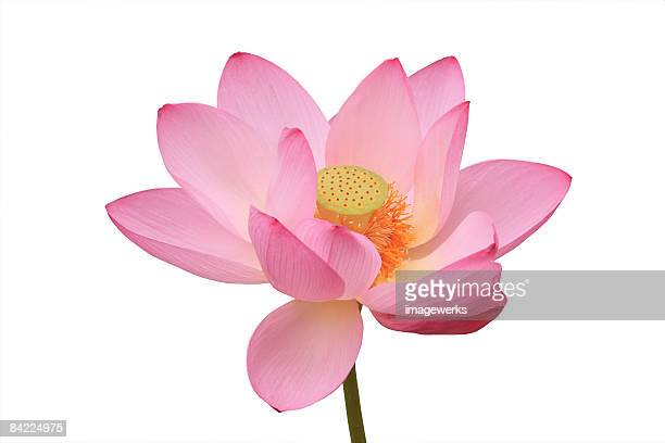 Japan, Water lily against white background, close-up