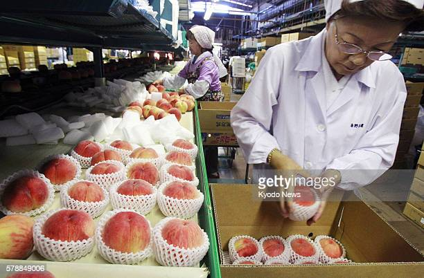 FUKUSHIMA Japan Women box up ''Akatsuki'' peaches in the city of Fukushima on Aug 10 as shipments of the local specialty hit their peak in the...
