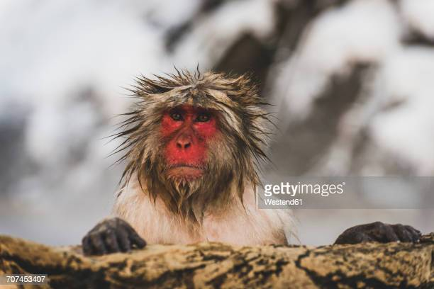 Japan, Yamanouchi, Jigokudani Monkey Park, portrait of wet red-faced makak
