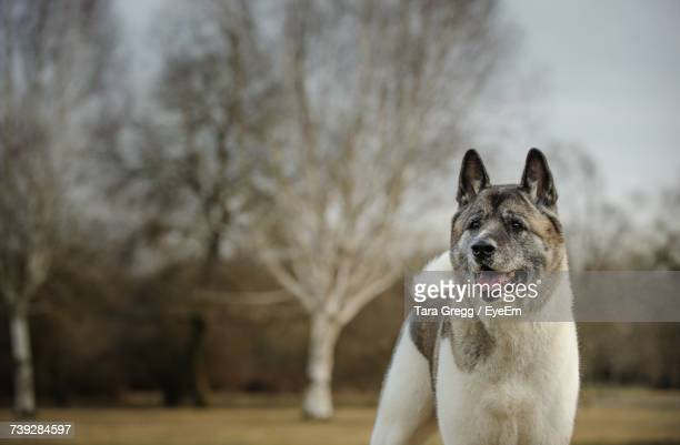 Japanese Akita Looking Away While Standing On Field