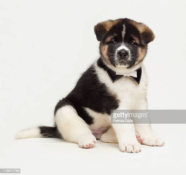 japanese akita puppy dressed up - japanese spitz stock pictures, royalty-free photos & images