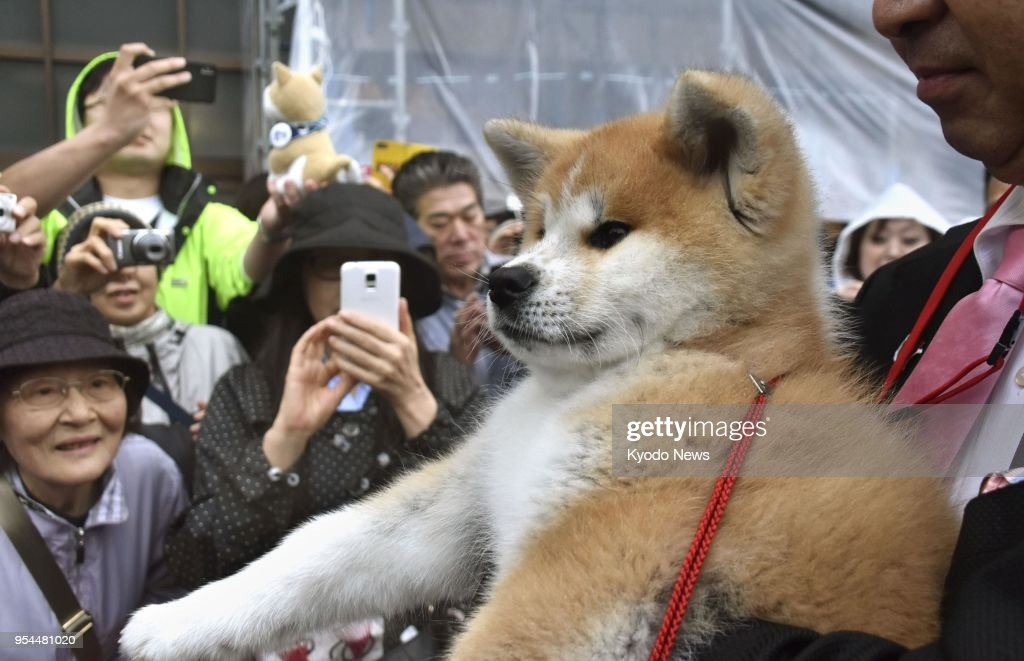 a japanese akita puppy offered to russian olympic champion figure