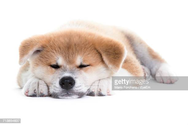 Japanese Akita Resting On White Background