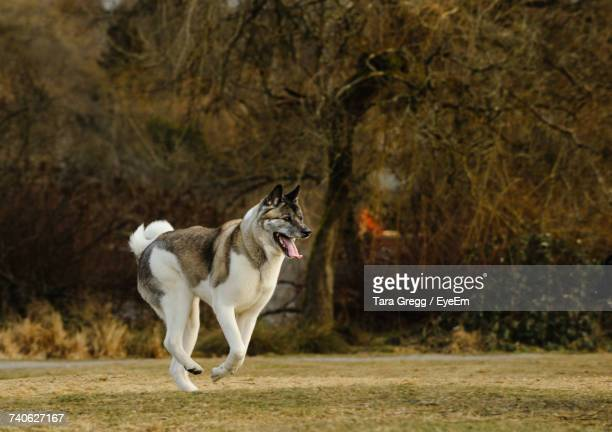 Japanese Akita Running On Field