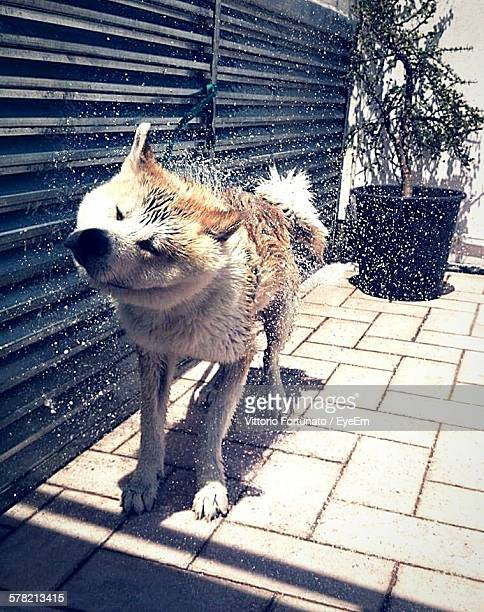 Japanese Akita Shaking Off Water While Standing On Footpath