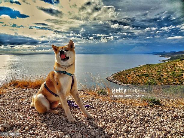 Japanese Akita Sitting On Cliff By Sea Against Dramatic Sky