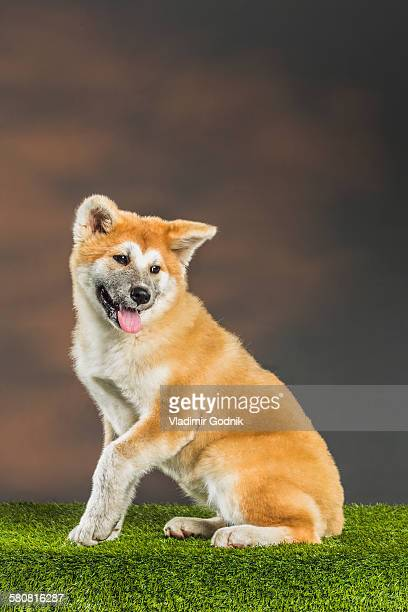 Japanese Akita sitting on grassy field