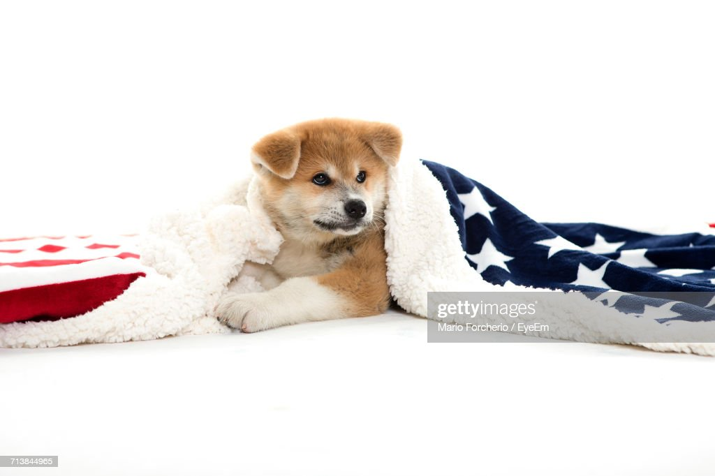 Japanese Akita Wearing American Flag While Resting On White Background : Foto de stock