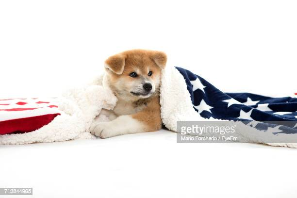 Japanese Akita Wearing American Flag While Resting On White Background